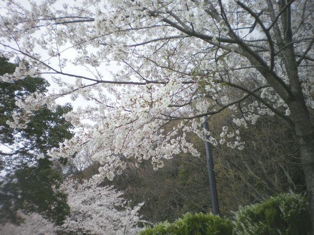 sakura-0326-1.jpg