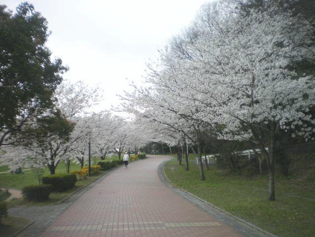 sakura-0326.jpg
